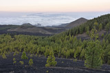 Canary Island Pine trees - volcanic landscape of Chinyero Nature Reserve, hiking above the clouds in the northwest of Tenerife Canary Islands Spain. - 247003214