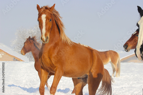 purebred arabian young stallion plays in winter