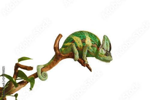 chameleon isolated on white background sitting on a wood