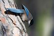 Leinwanddruck Bild - Blauelster (Cyanopica cyana cooki) - Azure-winged magpie