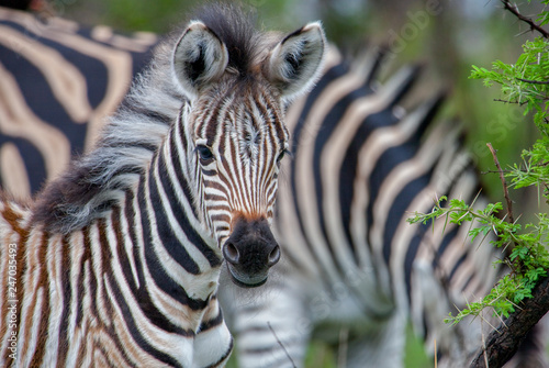 curious zebra baby in the south african savannah - 247035493