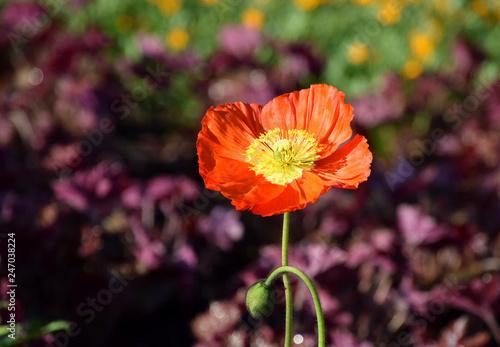 Red Arctomecon merriamii poppy  flower blooming in garden - 247038224