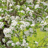 Blühender Apfelbaum im Frühling