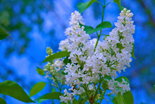 """Постер, картина, фотообои """"In spring, white sipenis bloomed on the branches."""""""