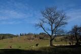 Fototapeta Horses - Polska, Pieniny - miejscowość Jaworki, pasące się konie © Iwona