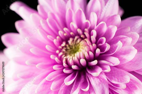 beautiful light pink macro gerbera flower - 247079649