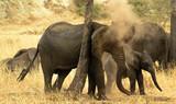 Wild African Elephant Herd - 247083822