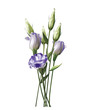 Beautiful violet Lisianthus on white background - 247085220