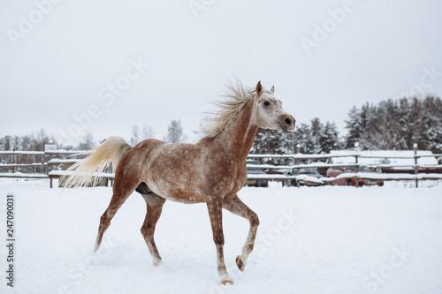Purebred Arabian stallion on the parade ground