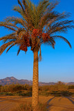 Date palm with fruits on a sandy beach at sunrise. Palm tree with a long shadow and mountains on horizon at sunrise.