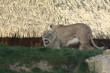 Lions Lionnes et lionceaux