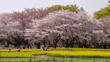Tokyo, Japan - April 1 : the unidentified people go to picnic and relax under cherry blossom trees at Showa Kinen Koen park on April 1, 2018 in Tokyo, Japan.
