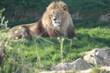 Lions et lionnes