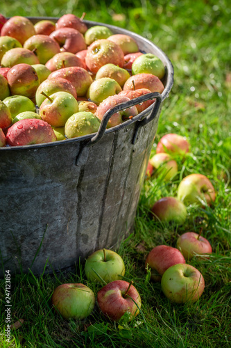 Foto Murales Harvested and washed apples in sunny garden
