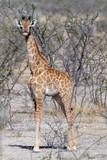 Baby Giraffe calf Namibia