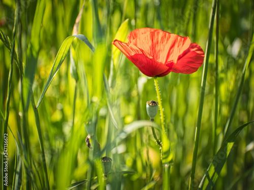 red poppy field - 247136672