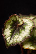 Begonia Rex (Silver Circle)