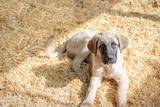 Perro cachorro de mastin - 247151035