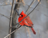 red cardinal in forest during winter