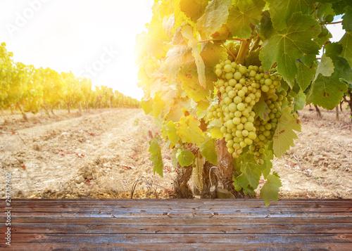Leinwanddruck Bild Weinberg im Sommer bei Sonnenuntergang, Weintrauben vor der Ernte bei Weingut, Spanien Europa