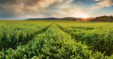 Panorama of a wheat field landscape with path - 247175492