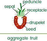 Parts of plant. Morphology of raspberry aggregate fruit in section isolated on white background