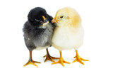 Tiny yellow and black chickens