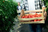 Young smiling agriculture woman worker harvesting tomatoes in greenhouse. - 247184681