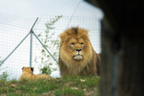 The lion lies on a green grass in a zoo. nature