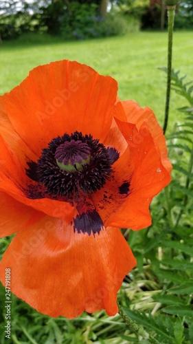 poppy flower - 247191808