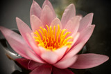 beautiful pink water lilies in the lake - 247198627