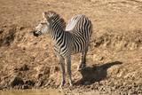Cebra a orillas del río en busca de agua en el parque Nacional de Mikumi, Tanzania