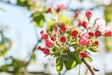Closeup of flowering apple tree in spring..