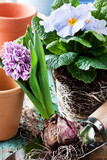 Springtime garden work with hyacinths and primroses