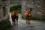 33490296L, Vilacha, Lugo, Spain, 01/27/2019, Galicia,  native cow grazing on Camino de Santiago