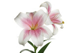 Branch of tender pink lilies isolated on white background.