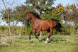 Nice brown horse running on the pasture in summer - 247225802