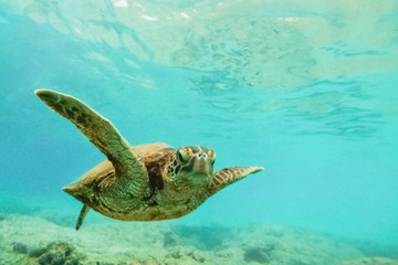 Green sea turtle above coral reef underwater photograph in Hawaii