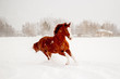 Beautiful chestnut horse running free in the snow - 247228658