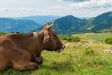 Brown cow grazing on an alpine lawn