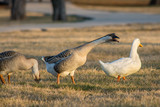 A Pair of Swan Geese enjoying the afternoon in the park. - 247250697