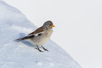 white-winged snowfinch bird (montifringilla nivalis) standing in snow