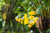 Close-up of Beautiful yellow orchid in the garden. (Dendrobium lindleyi)