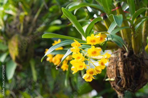 Close-up of Beautiful yellow orchid in the garden. (Dendrobium lindleyi) - 247292861