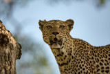 A female leopard staring into space.