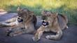 Ansichten einer jungen Löwendame