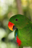 The eclectus parrot (Eclectus roratus), portait of the green male eclectus with color background.