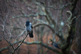 Wild bird, carrion crow perched on a branch, isolated against a bokeh background