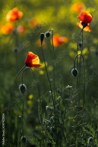 rape field with red poppies flowers - 247422836