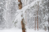 Winter trees in the forest during a snowfall